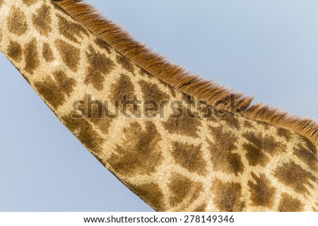 Giraffe Neck Wildlife Giraffe neck wildlife animal closeup color detail  - stock photo