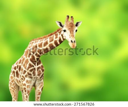 Giraffe on green background - stock photo