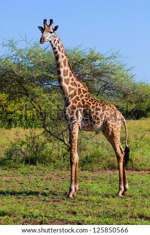Giraffe on savanna, full view. Safari in Serengeti, Tanzania, Africa