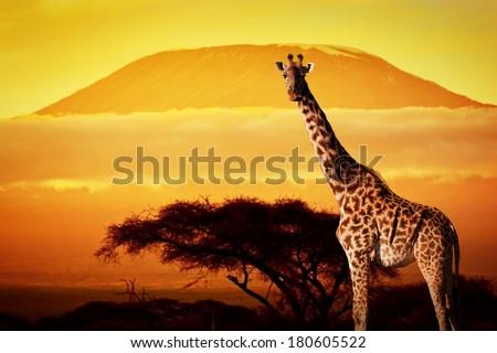 Giraffe on savanna landscape background and Mount Kilimanjaro at sunset - stock photo