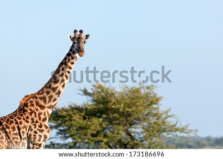 Giraffe on savanna portrait. Safari in Serengeti, Tanzania, Africa - stock photo