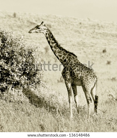 Giraffe on the Masai Mara National Reserve, Kenya (stylized retro) - stock photo