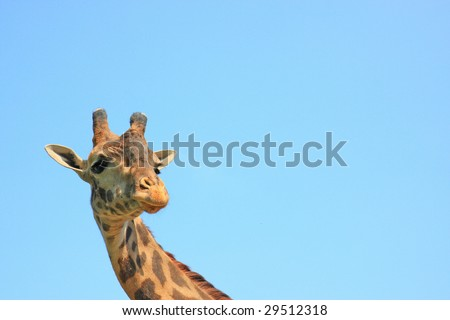 giraffe on the sky background - stock photo
