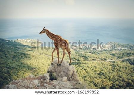 Giraffe on the top of the mountain - stock photo