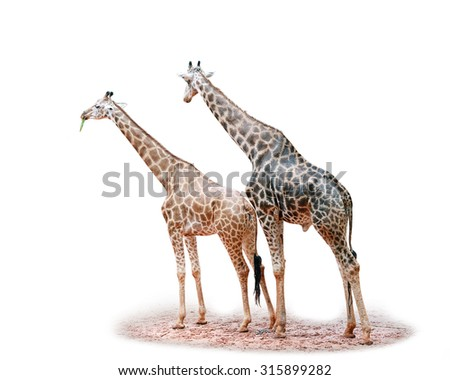 Giraffe on white background.