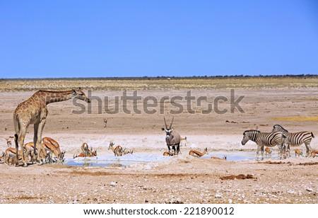 Giraffe, Oryx, Zebra & Springbok next to a waterhole in Etosha - stock photo