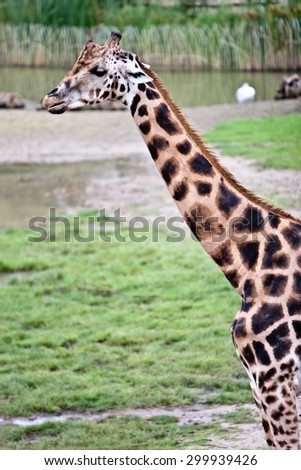 Giraffe over the background of a deep blue stormy African sky  - stock photo