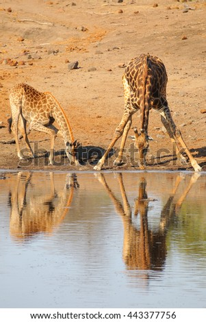 Giraffe parent and child bending to drink water from river, Kruger National Park