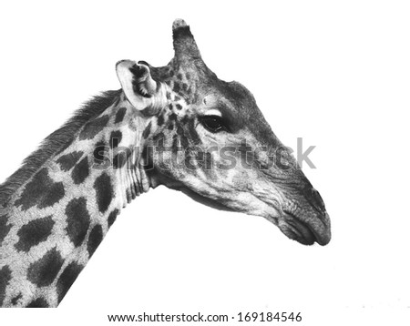 Giraffe portrait in black and white (isolated) - stock photo