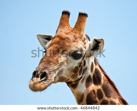 Giraffe portrait in bright sunshine with a blue background