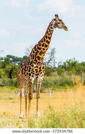 Giraffe portrait in the Moremi Game Reserve (Okavango River Delta), National Park, Botswana