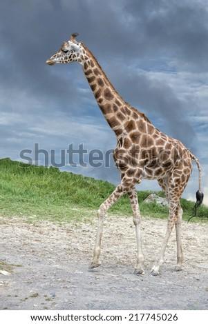 Giraffe portrait on deep blue sky background - stock photo