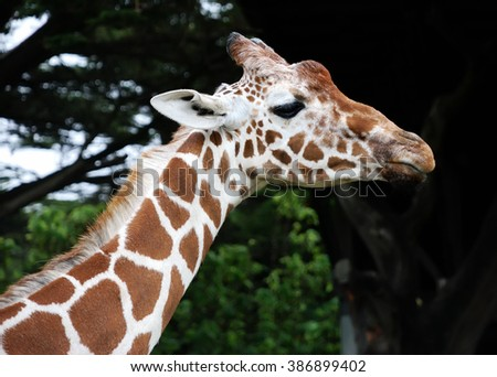 Giraffe portrait showing head and neck against dark and green background.