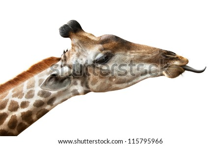 giraffe put out tongue, is isolated on a white background - stock photo
