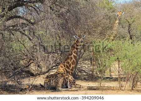 Giraffe Rest - African Wildlife Background - Relaxing in Nature's Tranquility - stock photo