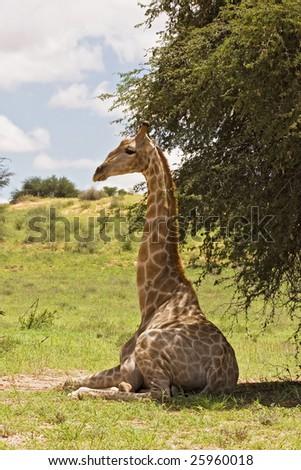 Giraffe resting in the shade; Giraffa Camelopardis; South Africa - stock photo