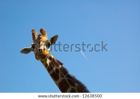 Giraffe's neck against blue sky background - stock photo