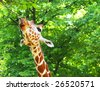 giraffe shows his tongue closeup - stock photo