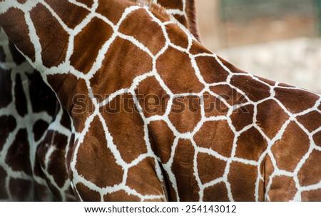 Giraffe skin close up - stock photo