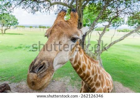 Giraffe. South Africa.  - stock photo