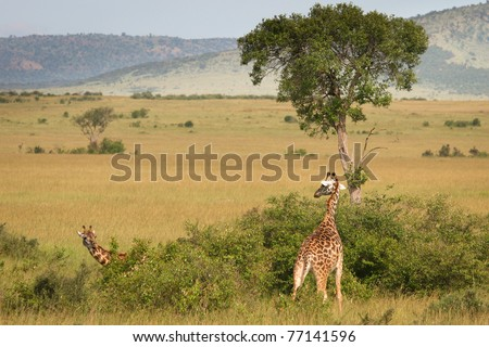 Giraffe standing in the bush, Masai Mara, Kenya - stock photo