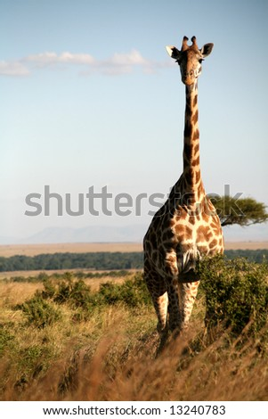 Giraffe standing in the grasslands of the Masai Mara Reserve (Kenya) - stock photo