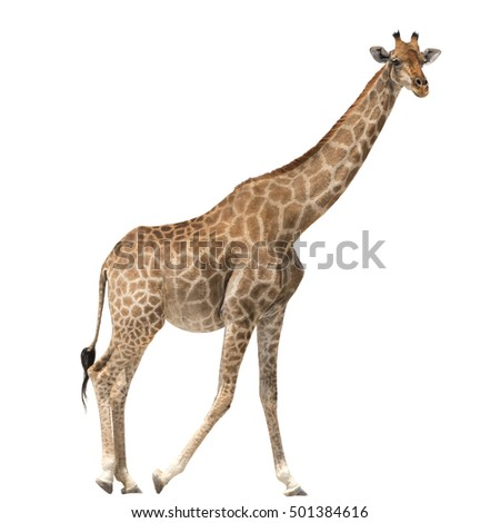 Giraffe standing isolated on white background