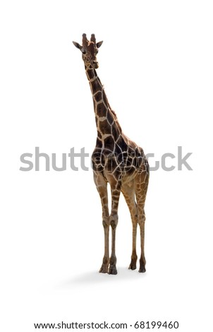 Giraffe standing with long neck and spots isolated on white