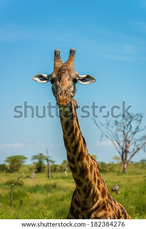 Giraffe staring in the Serengeti national park, Tanzania - stock photo