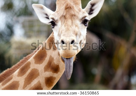 giraffe sticking tongue out - stock photo