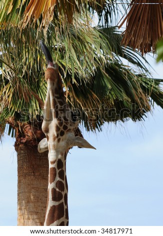 giraffe stretches his neck and long tongue to reach palm fronds - stock photo