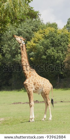 Giraffe stretching to eat leaves - Giraffa camelopardalis peralta - stock photo