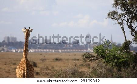 giraffe to the city - stock photo