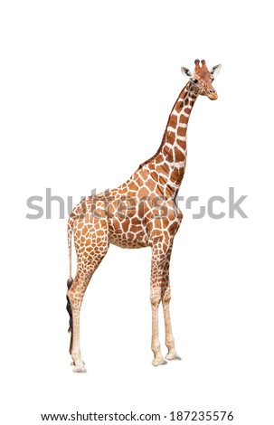 Giraffe to the utmost. It is isolated on the white - stock photo