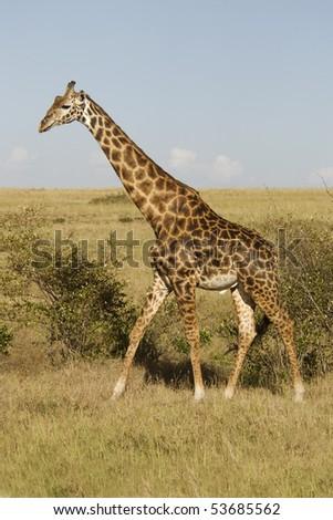 Giraffe walking around in the savannah, Masai Mara, Kenya - stock photo