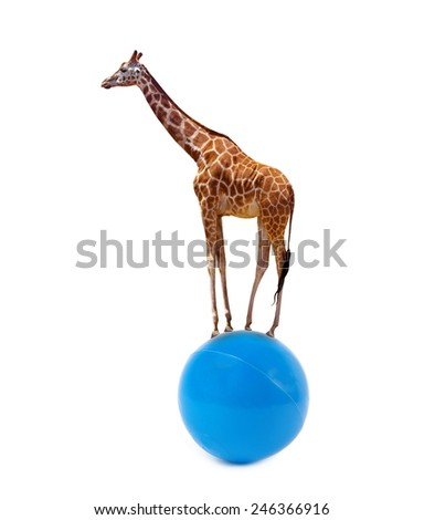 giraffe walking on the ball