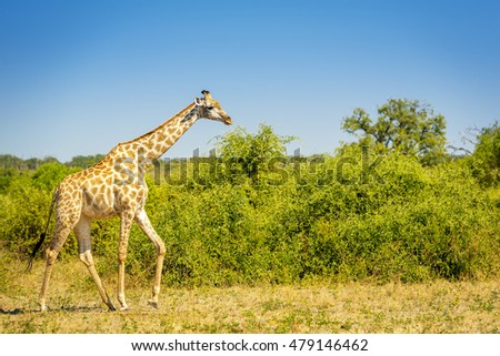 Giraffe walking on the plains in the wilds of Africa