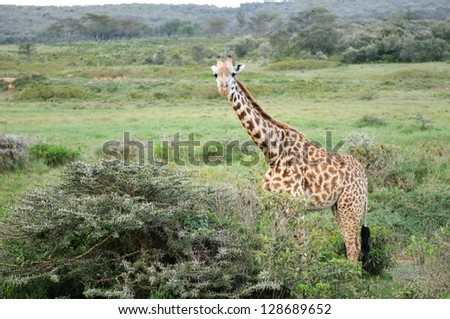 Giraffe walking through the grasslands (Crescent Island Lake Naivasha; Kenya) - stock photo