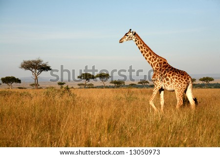 Giraffe walking through the grasslands (Masai Mara; Kenya) - stock photo