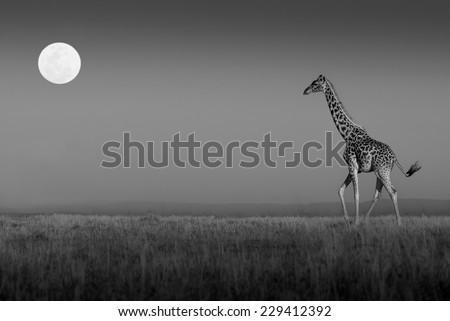 Giraffe walking towards the full moon on the plains of the Masai Mara in black and white - stock photo