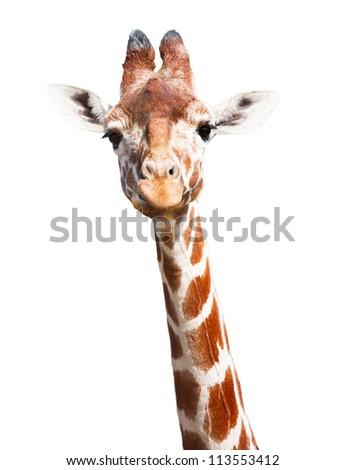 Giraffe white background - stock photo