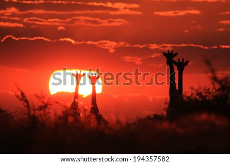 Giraffe - Wildlife Background from Africa - Magnificent Nature, Majestic Animals - stock photo