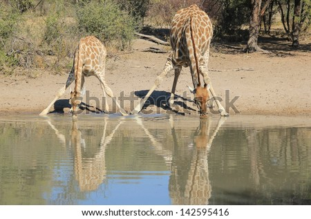 Giraffe - Wildlife from Africa - Animal Babies and Moms.  A cow and calf share a watering hole on a game ranch in Namibia.  With hooves touching, their love and harmony is cemented in bonded love. - stock photo