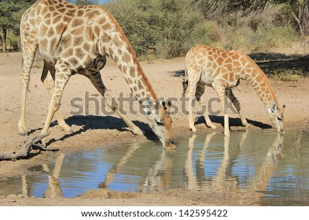 Giraffe - Wildlife from Africa - Animal Babies.  Background of nature in harmony as a cow and calf drink water on a game ranch in Namibia. - stock photo
