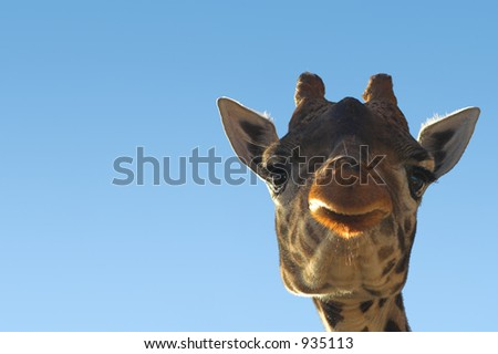 Giraffe with copy space