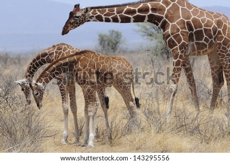 Giraffe with family - stock photo
