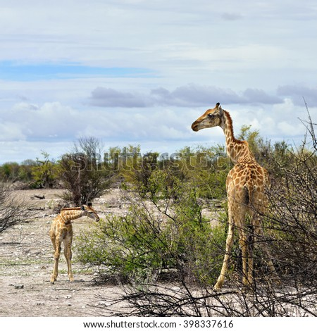 Giraffe with foal eating a bushes in Etosha national reserve, Namibia - stock photo