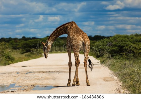 Giraffe with lowered head standing in the road near water puddle in Etosha National Park in Namibia Africa - stock photo