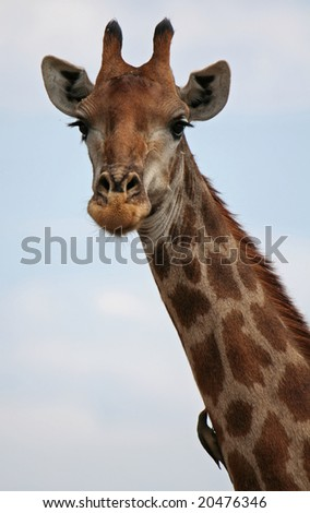 Giraffe with red-billed oxpecker, wildlife in South Africa - stock photo