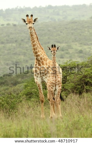 Giraffe with young, curious, looking at camera - stock photo